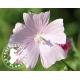 Synergie de plantes anti toux