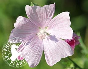Synergie de plantes anti-toux