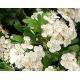 Feuilles et fleurs d'aubepine