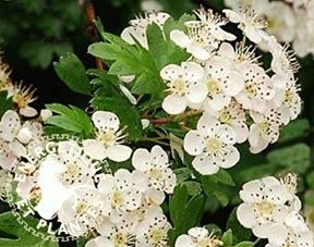 Feuilles et fleurs d'aubépine