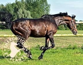 Synergie speciale locomotion du cheval