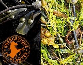 Phyto Algues pour chevaux