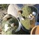 Phyto-algues pour chevaux
