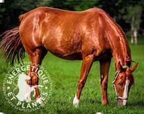 cheval_drainage_lymphatique_immunitaire.jpg
