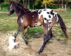 cheval_mixte_foie_rein.jpg