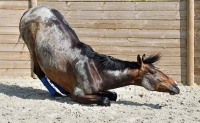 Arthrose et douleurs articulaires chez le cheval