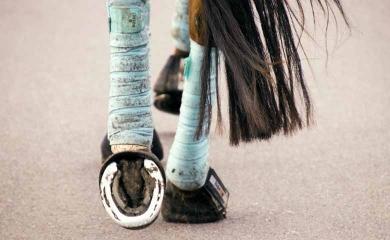 Engorgement des membres du cheval