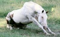 La fourbure chez le cheval et son traitement