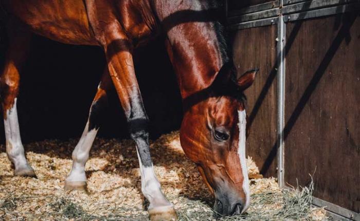 Leptospirose et piroplasmose chez le cheval
