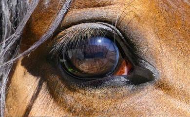 L'uvéite chez le cheval