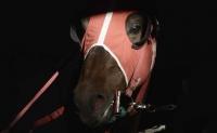 Saignement de nez chez le cheval de course